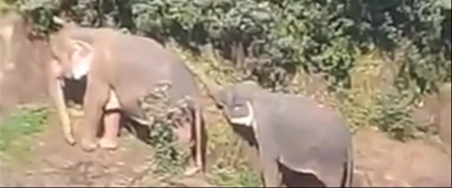 שניים מן הפילים בעת ניסיון ההצלה