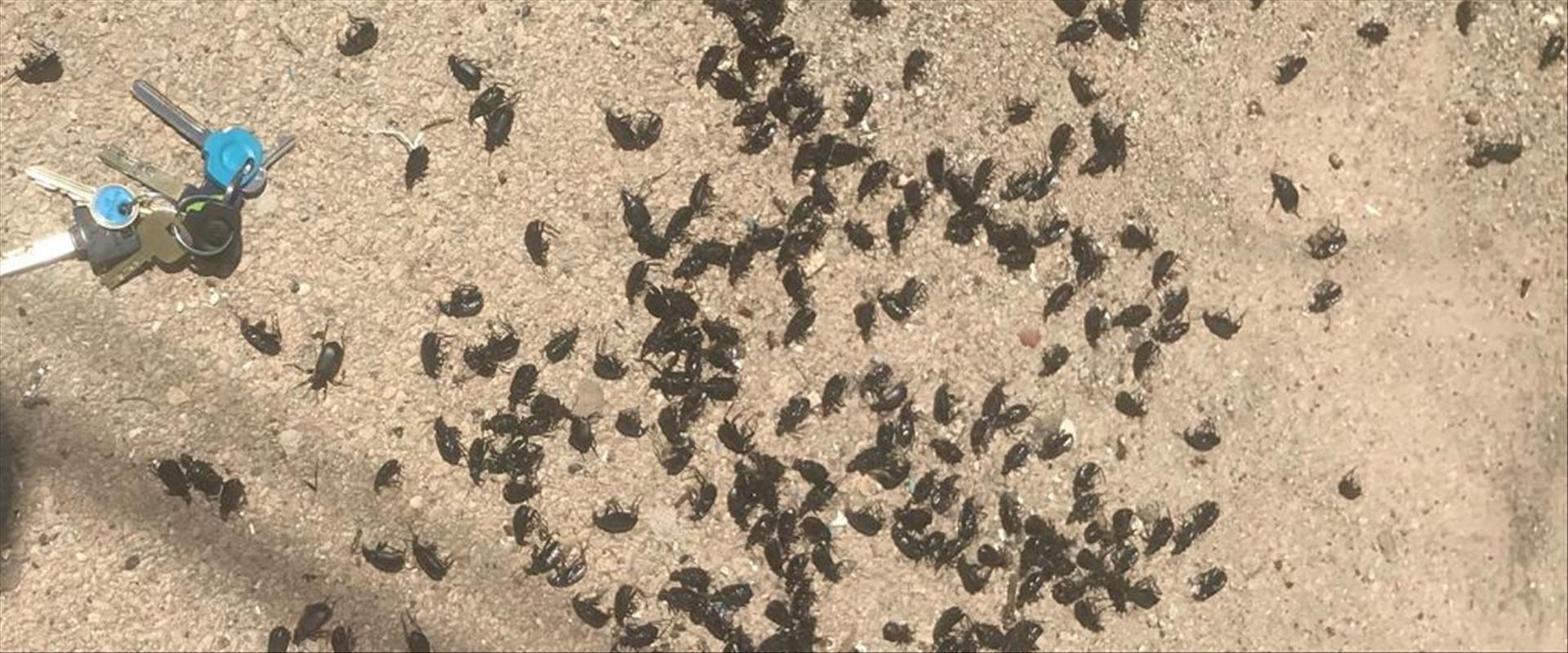 החיפושיות השחורות בחוף באשדוד