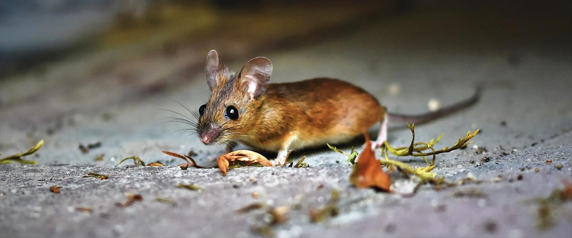 הגורם, ככלה הנראה, הפרשות עכברים וחולדות בבית