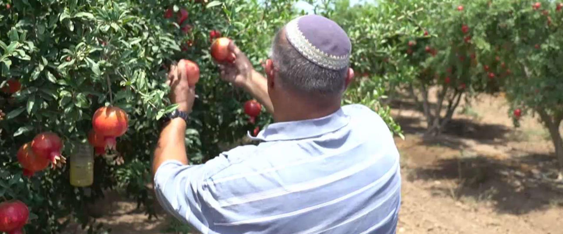 """""""למה אתה גונב?"""": המלחמה של החקלאים במשפחות הישראלי"""