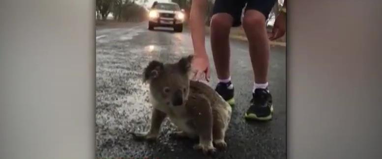קואלה מנסה לשתות מים מהכביש