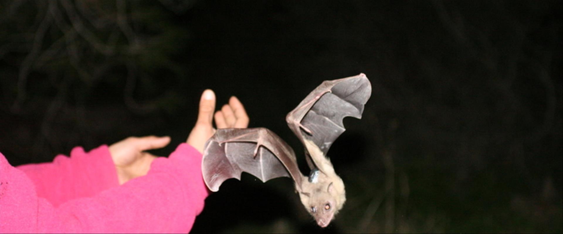 עטלף פירות מהמחקר