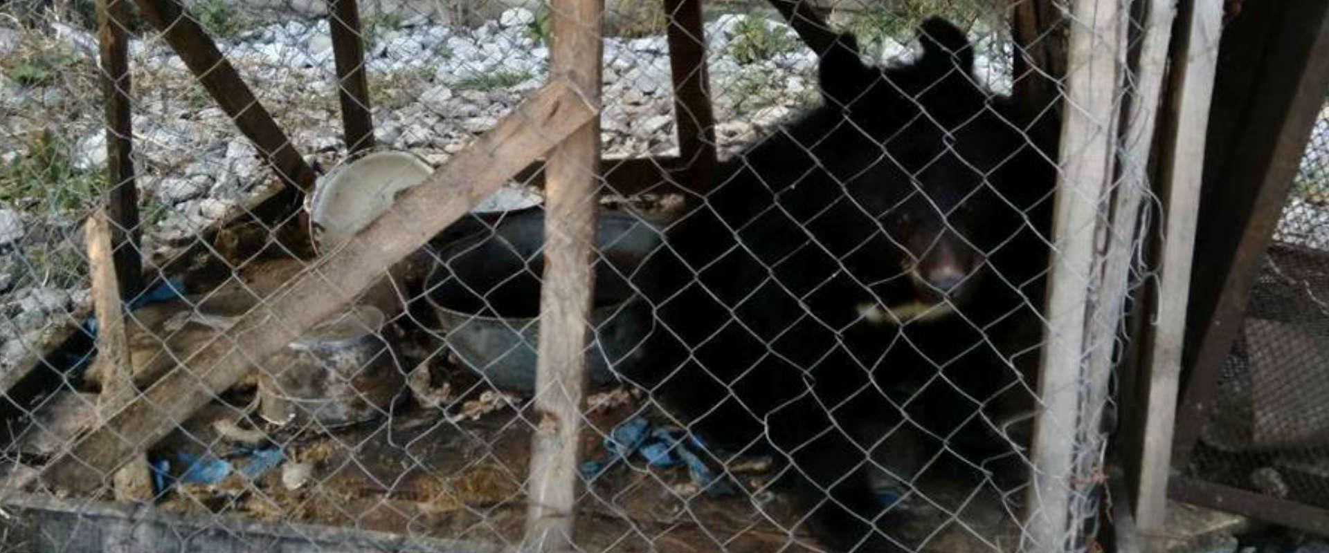 הדוב שאותר ברוסיה